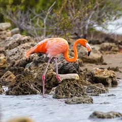 Flamingoes@Williwood 3 (caropho) Tags: jankok curaao birds flamingo wildlife caribbean animal nature canon eos