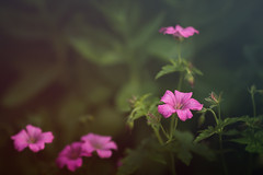 Pink (aveyardphotography) Tags: nature pink flowers petals garden soft light shallow focus english dark subtle