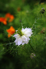summer shower (gshaun12) Tags: white plant flower macro green nature garden bokeh fantasticnature macrodreams