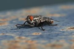 Sarcophaga cf. africa (Fotografa de Naturaleza de Paco Moreno Gmez) Tags: parque espaa naturaleza fauna flora natural huelva andalucia sierra mosca picos fotografa diptera aracena diptero aroche