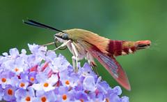 Thysbe break (Ste.Baz) Tags: hemaristhysbe hemaris thysbe moth papillondenuit macro