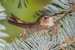 IMG_7534 broadtail hummingbird (starc283) Tags: bird nature canon hummingbird wildlife birding hummingbirdnest starc283