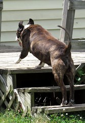 Buster still has the moves of a younger dog. (kennethkonica) Tags: usa dog pet animal america canon ball fun mutt backyard midwest play action random outdoor indianapolis tail steps indy indiana ears canine buddy mature daisy buster mansbestfriend brindle playtime adopted playful animalplanet mydog global canonpowershot olddog hoosier marioncounty rescuedog