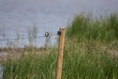 Oreneta, Delta del Llobregat (esta_ahi) Tags: barcelona españa joaquim fauna spain aves golondrina baixllobregat elpratdellobregat passeriformes hirundinidae oreneta deltadelllobregat испания
