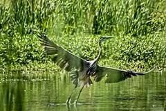 Filtered #2 (brev99) Tags: park bird grass pond ngc greatblueheron d7100 ononesoftware topazdenoise tamron70300vc highqualityanimals perfecteffects10