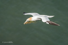 Gannet at RSPB Bempton Cliffs D50_1283.jpg (Mobile Lynn) Tags: gannet birds nature wild bird fauna pelecaniformes shag wildlife waterbird waterbirds bempton england unitedkingdom gb coth sunrays5