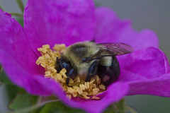 Bee on a Rose (brucetopher) Tags: pink flower macro rose yellow canon bug wasp purple bees bee bumblebee honey gathering nectar pollen collect collecting virginiana gather rosavirginiana 100mmmacrolens