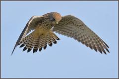 Kestrel (image 2 of 2) (Full Moon Images) Tags: bird nature flying wildlife flight lakes reserve prey fen cambridgeshire kestrel birdofprey drayton rspb