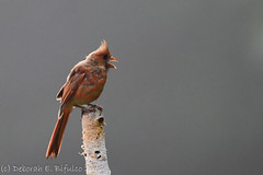 Much ado about nothing (dbifulco) Tags: noca birch bird immature nature newjersey nikkor300f4pfed northerncardinal wildlife yard