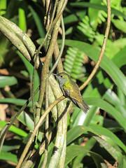 """Le Parc des Oiseaux d'Iguaçu: un colibri <a style=""""margin-left:10px; font-size:0.8em;"""" href=""""http://www.flickr.com/photos/127723101@N04/29016885964/"""" target=""""_blank"""">@flickr</a>"""