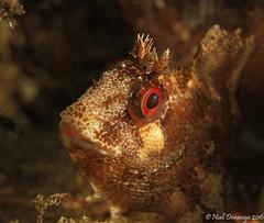 THE RED EYED PUNK FISH (Niall Deiraniya Underwater Photography) Tags: fish marine mallorca underwater blenny