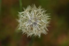 IMG_3273 (xaly87x) Tags: macro macroworld plant white whiteflower flower details nature garden taraxacum