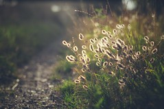 Abendland (Bilderwense) Tags: natur nature dof shallow depth depthoffield tiefenunschrfe tiefenschrfe outdoor nikkor 50mm f18 nikon d5000 bokehrama bokeh smooth soft bokehlicious makro macro macrodreams macromonday schrfentiefe pflanze verschwommen spring blte grn blume macromondays serene gras landschaft feld sonne sonnenlicht gegenlicht halo light beautifullight dusk sonnenuntergang