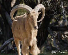 Barbary Sheep (Alfred J. Lockwood Photography) Tags: alfredjlockwood nature wildlife aoudad barbarysheep fossilrimwildlifecenter glenrose texas winter morning sheep