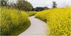 Yellow Flower Path, Oostvaardersplassen Netherlands (CvK Photography) Tags: canon color cvk europe flevoland landscape nationalpark nature netherlands oostvaardersplassen summer lelystad nederland nl path yellow