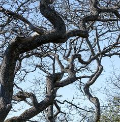 Garry Oak (David Badke) Tags: oakbay bc tree plant