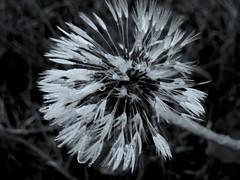 (Landanna) Tags: seedsofhope black bw white wit zwart zw sort hvid droplets druppels