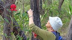 Telopea speciosissima (Tony Markham) Tags: dharawal dharawalnationalpark telopeaspeciosissima newsouthwaleswaratah nswwaratah telopea waratah flower inflorescence