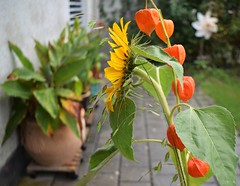 Bouqet Sunflower and Lampion 18.09 (14) (tabbynera) Tags: bouquet sunflower lampion