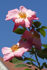 Taller than the House (Shotaku) Tags: roses rose rosa pink againstthesky alltherage flowers flower closeup rosebush plant plants