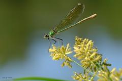 Demoiselle  la confluence de la Save et de la Garonne (jpto_55) Tags: odonate insecte demoiselle xe1 fuji fujifilm fujixf55200mmf3548rlmois macro bokeh hautegaronne france yourbestoftoday