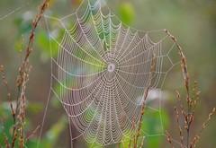 Spider web / Spinnennetz (Krnchen59) Tags: spiderweb spinnennetz herbst autumn tisterbauernmoor niedersachsen germany krnchen59 elke krner pentax ks2