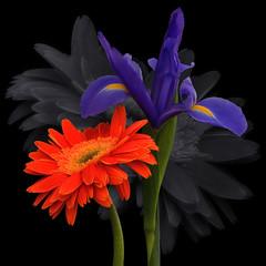 Front and Center (njk1951) Tags: iris orange purple pair gerbera daisy onblack gerberadaisy purpleiris orangegerbera frontandcenter blackwhiteflower bwbackground pairofflowers gerberairis