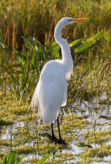 _C5A4240.jpg (Lake Worth) Tags: bird nature birds animal animals canon wings wildlife feathers sigma waterbird wetlands everglades waterbirds southflorida 2xextender 5dmark3