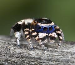 _X8A8883 (1) undescribed species of peacock spider (Maratus sp.) (Jurgen Otto) Tags:
