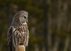 Great Gray Owl...#3 (Guy Lichter Photography - Thank you for 1.8M views) Tags: canada bird birds animal animals canon wildlife alberta owl owls cochrane owlgreatgray 5d3