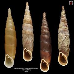hemiphaedusa (pinguiphaedusa) pinguis planche (MALACOLLECTION Landshells Freshwater Gastropods) Tags: shells japan collection nara snails japon schnecken mollusca gastropoda mollusks molluscs narapark escargots  gastropods landsnails narakoen naraprefecture terrestres gasteropodes clausiliidae landmollusken landschnecken landshells phaedusinae phaedusini hemiphaedusa pinguiphaedusa hemiphaedusapinguiphaedusapinguis