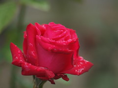 "Rose "" Princess Mikasa "" at OJI ROSE GARDEN (Polotaro) Tags: flower macro nature rose pen olympus   zuiko  ep1  10      tamronsp90mmf28macro1172b ojirosegarden"