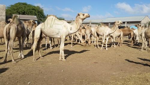Hargeisa livestock market camels for sale