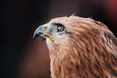 Eagle (Raquel Endless) Tags: bird eyes nikon eagle market medieval mercado ojos ave vic tamron vr 2014 70300 guila d5000