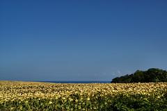 Sunflower field (AP4H7011 1PP)