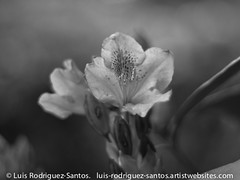 Awakening Blossoms (Luis R-S) Tags: blackandwhite plant flower nature monochrome olympus rhododendron pacificnorthwest pugetsound om manualfocus 50mmf35