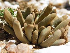 Psammophora longifolia near rosh pinah, namibia 4