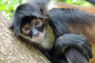 Churchyard - Spider Monkey Close Up