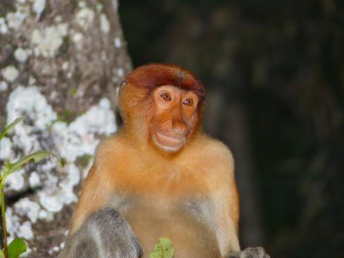 Proboscis Monkey (Nasalis larvatus) young male