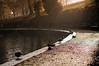 Boating Lake Ducks - (Listers Parks - Reshoot) (A. Jones Photography) Tags: park jones bradford pentax yorkshire tripod ducks sigma autmn andrewjones milltown sigma50mm k20d sigma50mmf14exdg listerspark