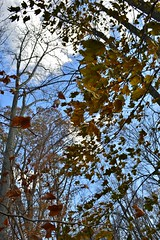 Looking up, things seems brighter (BelindaMariepix) Tags: trees light tree fall colors up leaves hope seasons branches faith lookingup falling areyouthere callingouttoyou googleplus belindamarie belindamariepix belindaphotoshares belindachurch