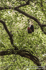 Shoes dangling from a tree in Hampstead Heath