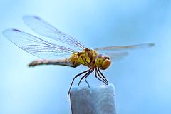 Dragonfly's Resting(휴식중인 잠자리) (Johnnie Shene Photography(Thanks, 2Million+ Views)) Tags: wild people colour macro nature animal animals horizontal closeup canon insect lens outdoors photography eos rebel one spread living fly wings focus kiss dragon natural image dragonflies dragonfly outdoor no wildlife insects scene 11 images single perch flies modified 28 resting limbs magnified tamron 90mm 90 f28 tranquil freshness selective settle t3i x5 magnification organism perching hemiptera fragility 곤충 잠자리 접사 600d 매크로 tranquliity 마크로
