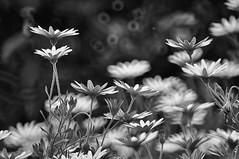 Crazy Daisies (B&W) (PhotosbyDi) Tags: flowers blackandwhite bw nature monochrome daisies garden bokeh nikond90 georgelens nikkorf8500mmreflexlens monochromebwbokehthursdaygroup