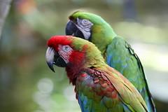 two_parrots_6D0228