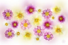Primula (Jacky Parker Floral Art) Tags: pink flowers macro yellow closeup nopeople whitebackground primula freshness primrose naturephotography floralart fragility beautyinnature horizontalformat flowerphotography studioimage creativeedit spring2015