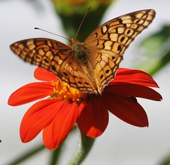 Variegated Fritillary, Euptoieta claudia, Mexican Sunflower, Tithonia rotundifolia,  Gravette Arkansas, Benton County, Photo by Wes (wesbird72) Tags: flowers orange brown black flower green butterfly bug insect petals wings stem streak stripes wing stripe insects spot bugs petal spots spotted streaks winged antenna striped antennae mexicansunflower variegatedfritillary bentoncounty tithoniarotundifolia euptoietaclaudia gravettearkansas photobywes arkansasinsects arkansasbirding arkansasbirder leahssunday