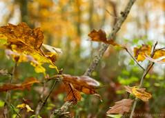 RedHillWood-20141114_6543 (someguytn13) Tags: uk autumn macro fall mushroom kent moss fungus toadstool kemsing redhillwood