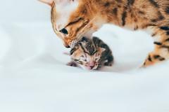 (Johanna Olovsson) Tags: cat kitten johanna bengal olovsson