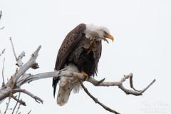 A Bald Eagle scratches its cheek